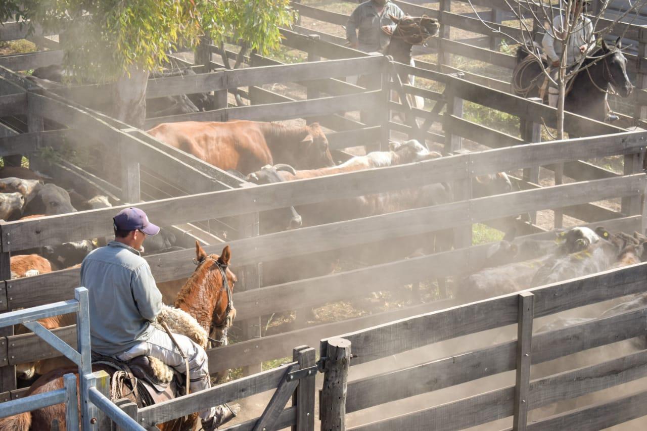 Con 750 animales se realizó el cuarto remate ganadero del año