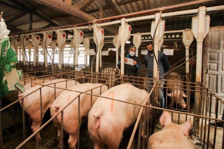 En El Palmar, un emprendimiento porcino incorporará su propia planta de faena con financiamiento del Estado