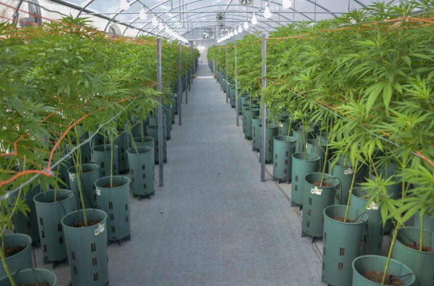 Se presenta esta tarde el proyecto de marco regulatorio para la industria del cannabis